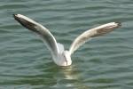 水鳥の着水2