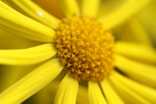 黄色い花弁
