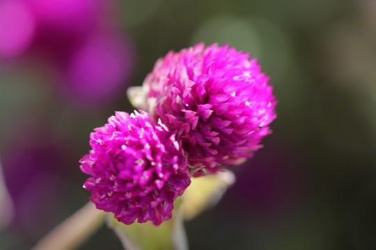 紫色のセンニチコウ