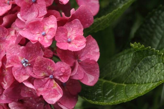 雨に濡れたアジサイの花