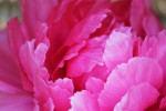 牡丹の花びら
