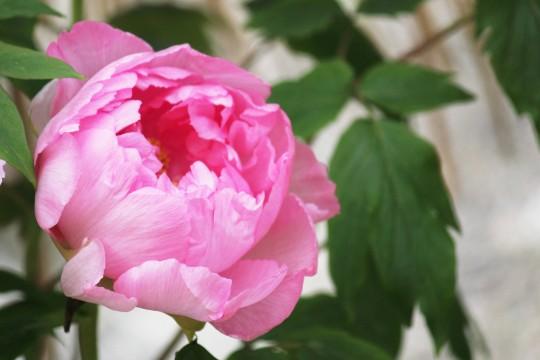 開きかけの牡丹の花