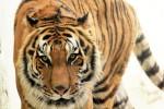 こっちを見るトラ