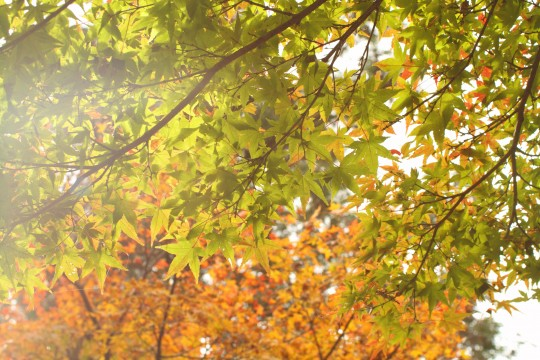 色づく前の紅葉