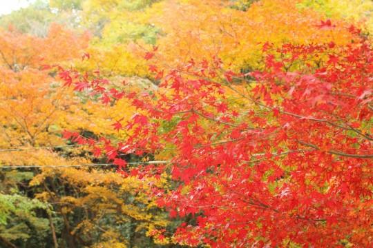 色づきかけの紅葉と真っ赤な紅葉