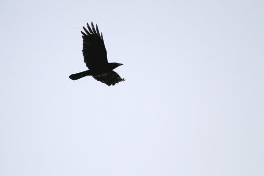 鷹のシルエット