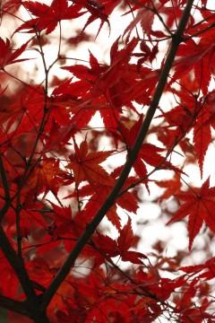 紅葉の葉脈