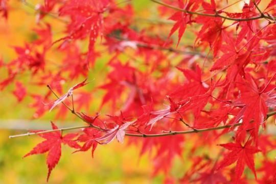 赤い紅葉の枝葉