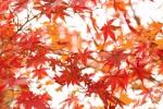 光に透かした紅葉