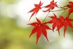 紅葉の葉っぱ2