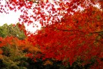 真っ赤な紅葉と緑の木々