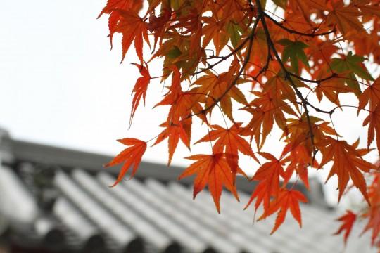 真っ赤なもみじとお寺の屋根