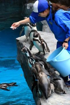 ごはんがほしいペンギンの群れ