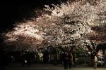 夜桜見物1