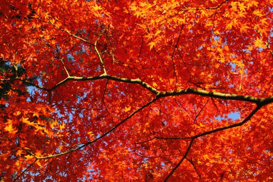 下から見上げた紅葉