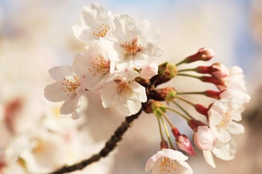 桜の花のアップ