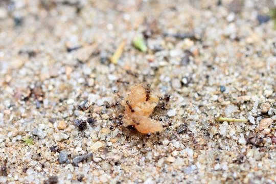 餌を運ぶアリの群れ
