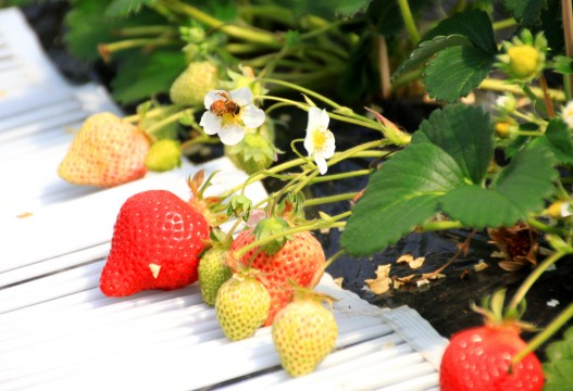 イチゴと花の蜜を集めるミツバチ