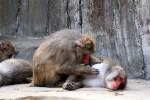 猿の毛繕い