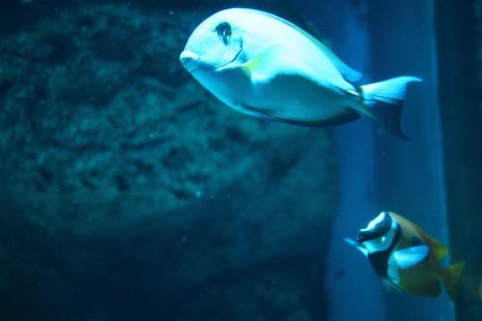 青い熱帯魚
