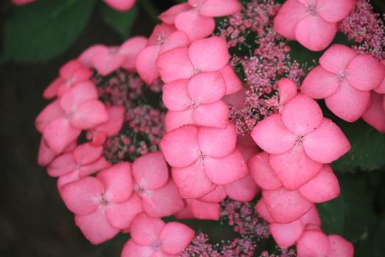 ピンク色のガクアジサイ