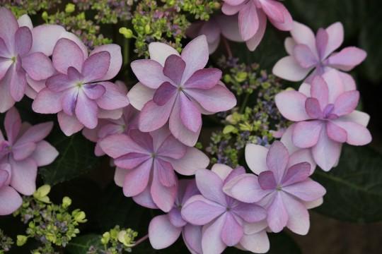 変わり咲きの紫陽花2