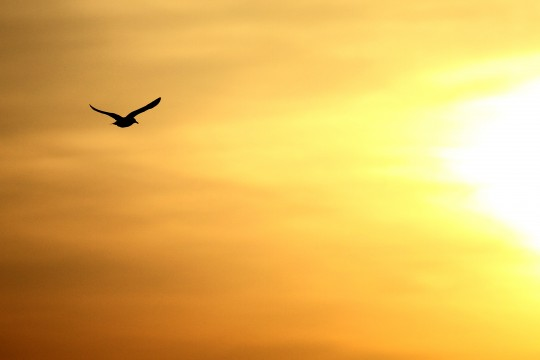 夕日に向かうカモメ