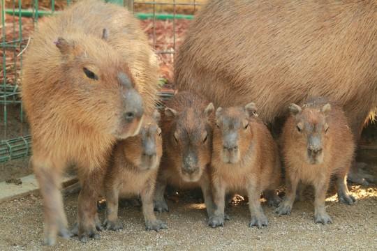 カピバラの家族