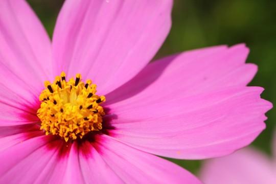 紫色のコスモス
