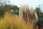 大きなススキとほうき草