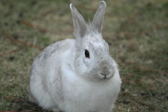 白いウサギ