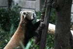 木に登るレッサーパンダ