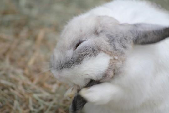 顔を洗うウサギ