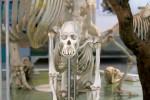 オランウータンの骨