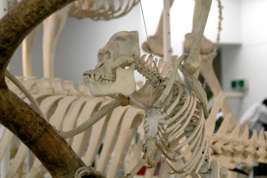 ゴリラの骨