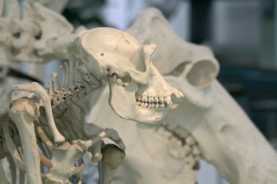 ゴリラの骨2