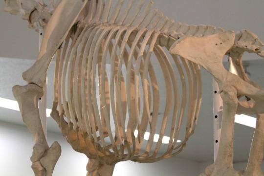 キリンのあばら骨