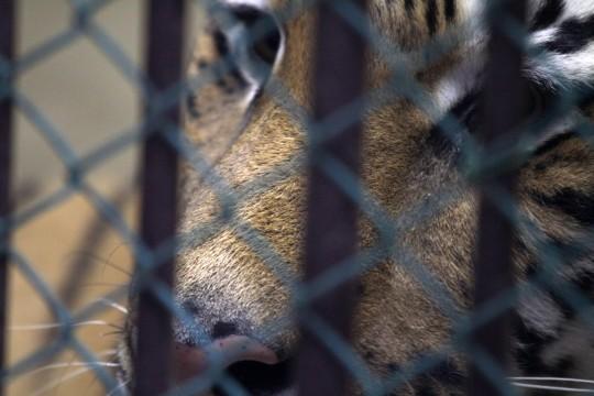 虎のドアップ