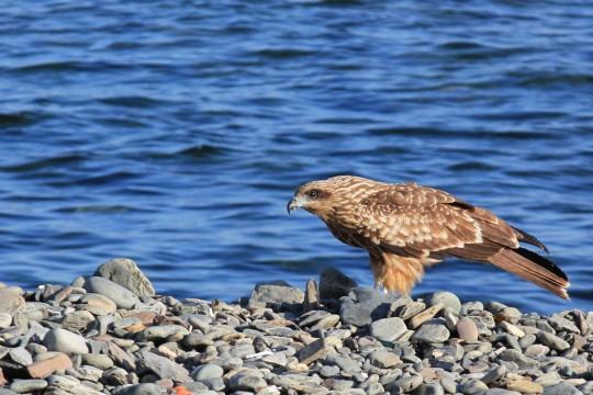 海辺の猛禽1