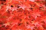 紅葉の葉1