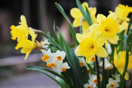 水仙の花々