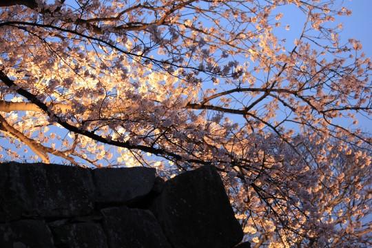 福岡城跡の夜桜