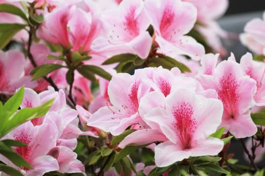 ピンク色のつつじの花1