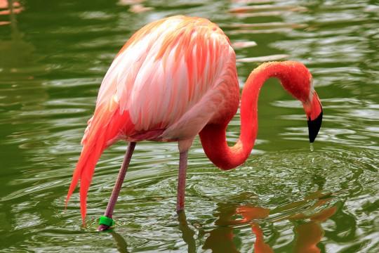 池の中のフラミンゴ