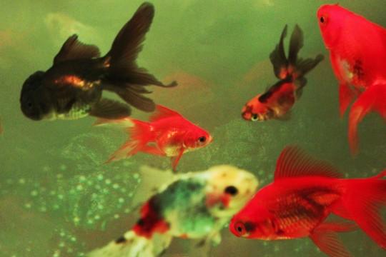 いろいろな金魚