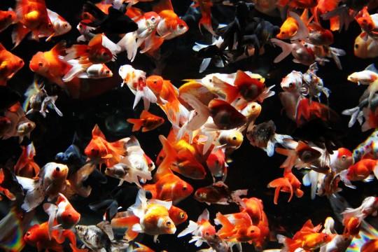 金魚の群れ