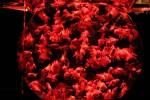 赤い金魚の群れ