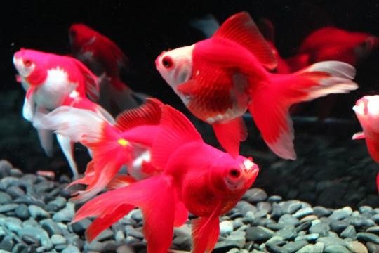 赤白の金魚