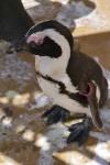 鋭い目つきのケープペンギン