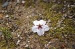 地面に落ちた桜の花びら